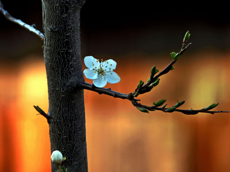 цвіте терен