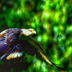 Pigua volando