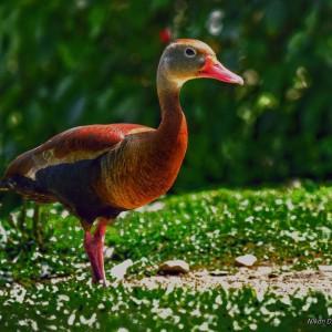 Pato colorido