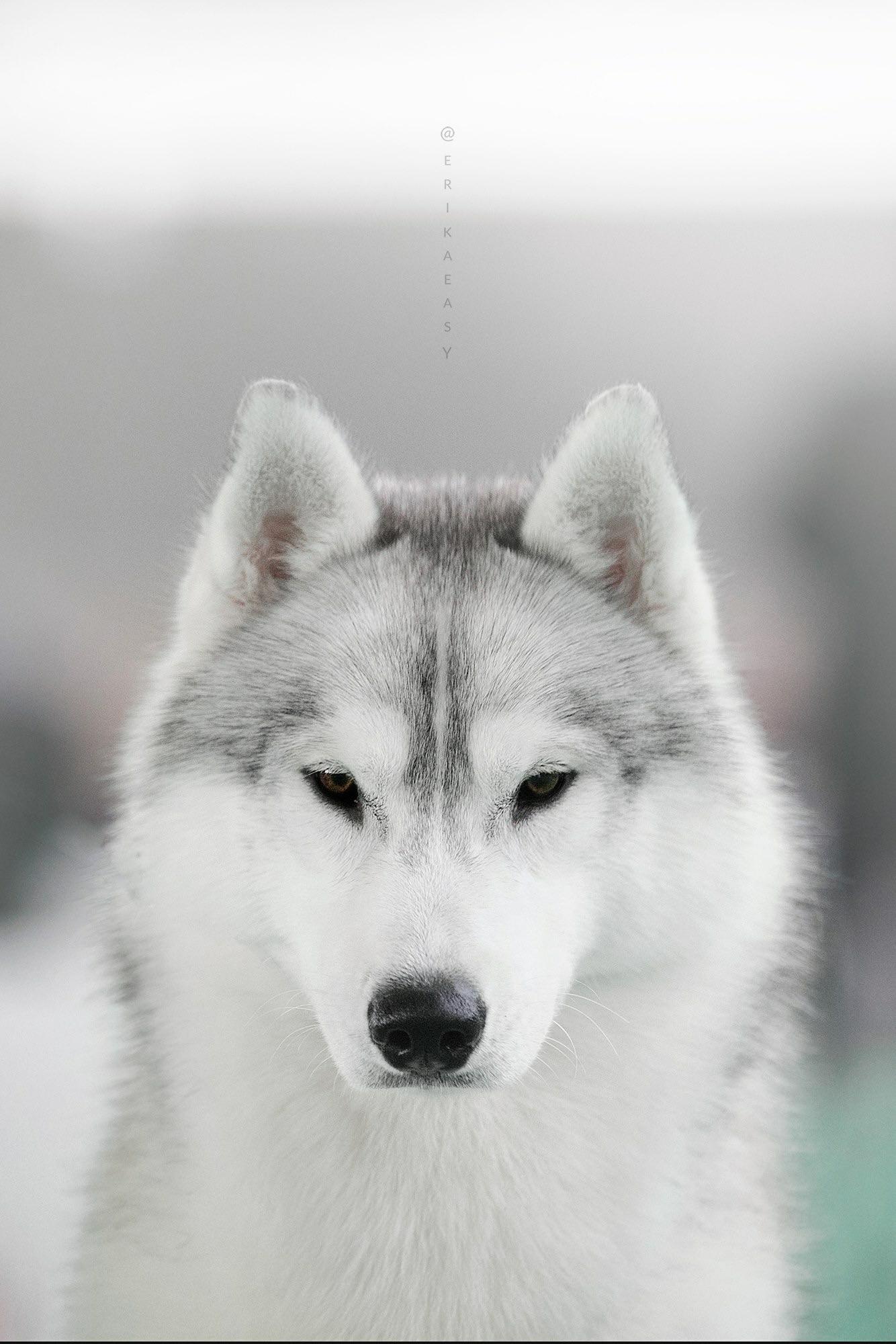 Husky from ChamonixDeus